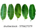 five banana leaf isolated on... | Shutterstock . vector #570627379