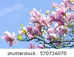 spring blossom. blooming pink... | Shutterstock . vector #570726070