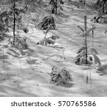 Small photo of Pine forest in the winter. Snow on tenterhooks.