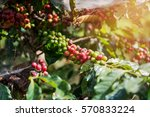 fresh coffee beans ripening on... | Shutterstock . vector #570833224