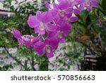 purple orchid.  | Shutterstock . vector #570856663