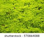 Gold Moss Sedum  Grass Pattern