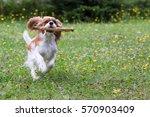 Dog Cavalier King Charles...