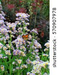 Small photo of Close up of a flowering stalk of purple asters with a Monarch Butterfly alighted upon the flowers