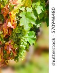 Small photo of Sunny bunches of white wine grape on vineyard in Alsace, France