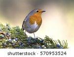 European Robin. Erithacus...
