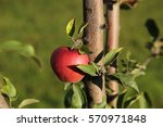 Red Bulk Apple On An Apple Tre...