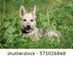 puppy on the green grass | Shutterstock . vector #571026868