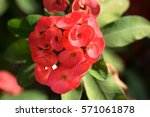 the blooming pink euphorbia