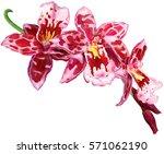 twig of blooming beallara... | Shutterstock .eps vector #571062190