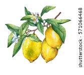 fresh citrus fruit lemon on a... | Shutterstock . vector #571066468