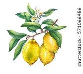 fresh citrus fruit lemon on a... | Shutterstock . vector #571066486