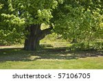 An old shady oak tree is part of the landscape at The Bayard Cutting Arboretum on Long Island. - stock photo