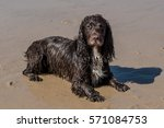 a wet dog on the beach on a... | Shutterstock . vector #571084753