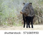 javelina or peccary ...   Shutterstock . vector #571085950