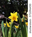 Yellow Narcissus Daffodil...