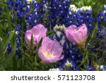 primrose and bluebonnets | Shutterstock . vector #571123708