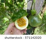 Passion Fruit  Passiflora...