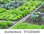 lettuce and red cabbage plants... | Shutterstock . vector #571203640