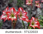 Vibrant red amaryllis flowers blossoming with rocks in the background - stock photo