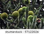 Closeup of Monkey Puzzle (pine. araucaria araucana) tree with large and strange blossoms - stock photo