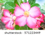 pink bignonia. | Shutterstock . vector #571223449