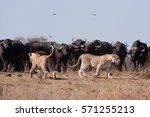 lion  panthera leo  kruger... | Shutterstock . vector #571255213