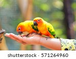 Adorable Sun Conure Parrots On...
