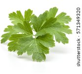 fresh parsley herb leaves ... | Shutterstock . vector #571349320