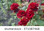 Stock photo beautiful red rose bush red roses bouquet of red roses 571387468