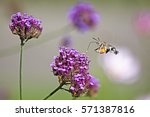 Humming Bird Hawk Moth ...