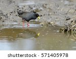Small photo of Black crake (Amaurornis flavirostris), foraging, South Africa, Kruger national park