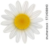 Daisy Flower Isolated  Vector...