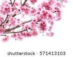 cherry blossom  sakura flowers... | Shutterstock . vector #571413103