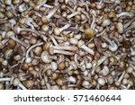 harvest honey agaric | Shutterstock . vector #571460644