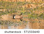 Small photo of American Wigeon, Anas americana