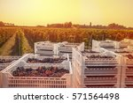 grape harvest | Shutterstock . vector #571564498