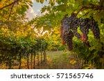grape harvest | Shutterstock . vector #571565746