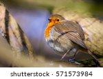 Small Robin Bird Sitting On Th...