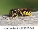 european common wasp  vespula... | Shutterstock . vector #571575664