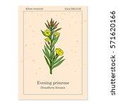 evening primrose  oenothera... | Shutterstock .eps vector #571620166
