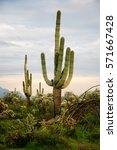 several saguaro cactus cacti in ... | Shutterstock . vector #571667428