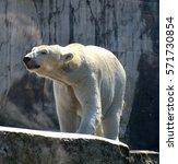 Small photo of White bear