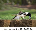 Female Pied Butcherbird ...