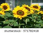 Sunflower  Helianthus Or...