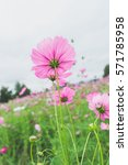 pink wildflowers meadow with...   Shutterstock . vector #571785958