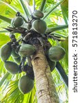 famous endemic coconuts of... | Shutterstock . vector #571813270