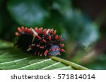 Small photo of Order Lepidoptera: Poisonous Caterpillars, order Lepidoptera, hairy worm eating young green leaves on a tree in summer time outdoor with natural background