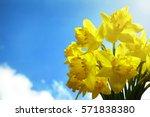 Daffodils Against A Clear Blue...