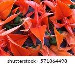bustard teak  bengal kinu | Shutterstock . vector #571864498